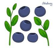 Ένα σύνολο στοιχείων βακκινίων Μύρτιλλα κλαδάκι με τα φύλλα και τα μπλε μούρα Δασικές εγκαταστάσεις huckleberry απομονωμένος ελεύθερη απεικόνιση δικαιώματος