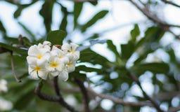 Ένα σύνολο άσπρου και κίτρινου frangipani plumeria ανθίζει στο δέντρο στην Ταϊλάνδη Κλείστε επάνω με το bokeh Στοκ Φωτογραφία