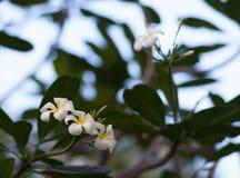 Ένα σύνολο άσπρου και κίτρινου frangipani plumeria ανθίζει στο δέντρο στην Ταϊλάνδη Κλείστε επάνω με το bokeh Στοκ Εικόνες