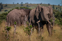 Ένα σύνολο ελεφάντων της λάσπης που μυρίζει γύρω στοκ εικόνα με δικαίωμα ελεύθερης χρήσης