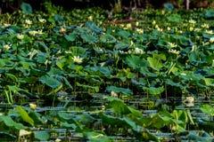 Ένα σύνολο λιμνών του κίτρινου Lotus, του υάκινθου νερού, των καλάμων, και άλλων εργοστασίων νερού Στοκ φωτογραφίες με δικαίωμα ελεύθερης χρήσης