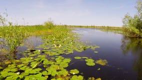 Ένα σύνολο λιμνών των άσπρων κρίνων νερού στην κίνηση απόθεμα βίντεο