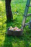 Ένα σύνολο καλαθιών των μήλων στον κήπο Στοκ Φωτογραφίες