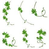 Ένα σύνολο πράσινων κλάδων των λυκίσκων απομονωμένος χωρίς μια σκιά Στοκ φωτογραφία με δικαίωμα ελεύθερης χρήσης