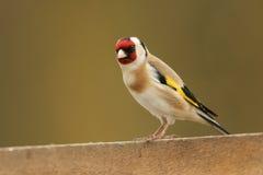 Ένα τα όμορφα carduelis Goldfinch Carduelis εσκαρφάλωσαν σε έναν ξύλινο φράκτη στοκ φωτογραφίες με δικαίωμα ελεύθερης χρήσης