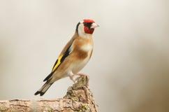 Ένα τα carduelis ζάλης Goldfinch Carduelis εσκαρφάλωσαν σε έναν κλάδο στοκ εικόνα