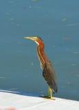 Ένα τροπικό πουλί τεντώνει το λαιμό του Στοκ Εικόνες