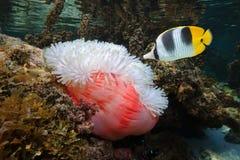 Ένα τροπικό ψάρι με ένα anemone θάλασσας υποβρύχιο Στοκ Εικόνες