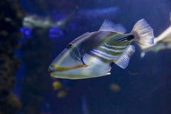 Ένα τροπικό ψάρι στο ενυδρείο Στοκ εικόνα με δικαίωμα ελεύθερης χρήσης