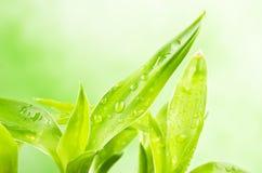 Ένα τυχερό φυτό μπαμπού Στοκ Εικόνα