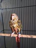 Ένα υγρό μωρό πράσινος-Cheeked Parakeet μετά από να πάρει ένα λουτρό Στοκ εικόνες με δικαίωμα ελεύθερης χρήσης