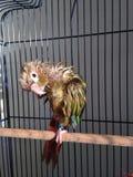Ένα υγρό μωρό πράσινος-Cheeked Parakeet μετά από να πάρει ένα λουτρό Στοκ Φωτογραφία