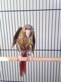Ένα υγρό μωρό πράσινος-Cheeked Parakeet μετά από να πάρει ένα λουτρό Στοκ φωτογραφία με δικαίωμα ελεύθερης χρήσης