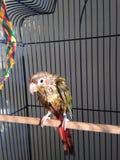 Ένα υγρό μωρό πράσινος-Cheeked Parakeet μετά από να πάρει ένα λουτρό Στοκ Εικόνα