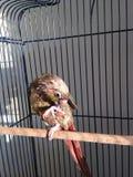 Ένα υγρό μωρό πράσινος-Cheeked Parakeet μετά από να πάρει ένα λουτρό Στοκ εικόνα με δικαίωμα ελεύθερης χρήσης