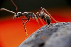 Ένα υπερβάλλον μυρμήγκι Στοκ εικόνες με δικαίωμα ελεύθερης χρήσης