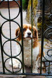 Ένα λυπημένο σκυλί πίσω από έναν φράκτη Στοκ Φωτογραφία