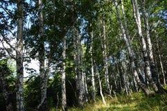 Ένα υψηλό άλσος σημύδων αντίθεσης Στοκ φωτογραφία με δικαίωμα ελεύθερης χρήσης