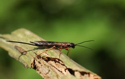 Ένα φάσμα Xeris που σκαρφαλώνει σε έναν κλάδο στη δασώδη περιοχή Είναι ένα είδος horntail ή ξύλινης σφήκας, η οποία ζει στα κωνοφ Στοκ φωτογραφία με δικαίωμα ελεύθερης χρήσης