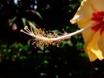 Ένα φρέσκο κίτρινο ύφος Hibiscus κήπων στοκ εικόνες