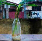 Ένα φρέσκο τυχερό μπαμπού που ενυδατώνεται σε ένα σαφές διαφανές μπουκάλι που γεμίζουν με το γλυκό νερό και τα άσπρα χαλίκια Μια  στοκ εικόνα με δικαίωμα ελεύθερης χρήσης