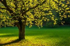 Ένα φυλλώδες δέντρο στον ήλιο την άνοιξη Στοκ εικόνα με δικαίωμα ελεύθερης χρήσης
