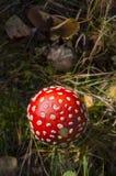 Ένα φως του ήλιου μανιταριών αγαρικών μυγών άνωθεν το Σεπτέμβριο Στοκ Εικόνες