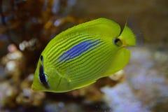 Ένα φωτεινό κίτρινο μπλε σημείο χρώματος butterflyfish με όλα τα πτερύγια που στερεώνονται Στοκ εικόνες με δικαίωμα ελεύθερης χρήσης