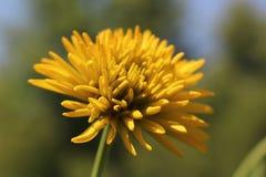 Ένα φωτεινό κίτρινο λουλούδι μόνο στον κήπο στοκ εικόνα με δικαίωμα ελεύθερης χρήσης