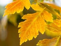 Ένα φύλλο ενός senna κύστεων θάμνου το φθινόπωρο στοκ εικόνες με δικαίωμα ελεύθερης χρήσης