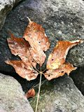 Ένα φύλλο ξηρό ως φθινόπωρο έρχεται Στοκ εικόνα με δικαίωμα ελεύθερης χρήσης