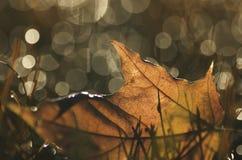 Ένα φύλλο σφενδάμου φθινοπώρου στη χλόη με το θολωμένο υπόβαθρο 3 στοκ φωτογραφία με δικαίωμα ελεύθερης χρήσης