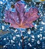Ένα φύλλο σφενδάμου φύλλων πτώσης που συλλαμβάνεται στο έδαφος, περίληψη φύσεων Στοκ φωτογραφίες με δικαίωμα ελεύθερης χρήσης