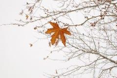Ένα φύλλο δέντρων σφενδάμνου Στοκ φωτογραφία με δικαίωμα ελεύθερης χρήσης