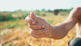 Ένα χέρι ατόμων ` s τραβά ένα σιτάρι που πέφτει στο έδαφος Σιτάρι στο χέρι ενός αγρότη στο υπόβαθρο της γης απόθεμα βίντεο
