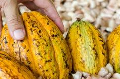 Ένα χέρι επιλέγει τα φρούτα κακάου , ακατέργαστα φασόλια κακάου, λοβός κακάου backg Στοκ Φωτογραφίες