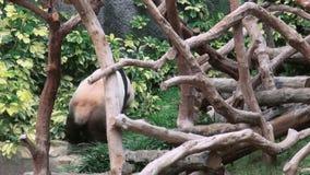 Ένα χαριτωμένο γιγαντιαίο panda περπατά στο ζωολογικό κήπο φιλμ μικρού μήκους