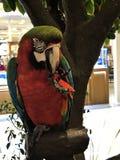 Ένα χαριτωμένο και ζωηρόχρωμο Macaw Στοκ Εικόνα
