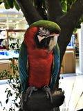 Ένα χαριτωμένο και ζωηρόχρωμο Macaw Στοκ Εικόνες