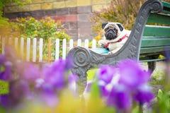 Ένα χαριτωμένο παχύ σκυλί μαλαγμένου πηλού κάθεται σε έναν παλαιό μπλε πάγκο σε ένα κόκκινο περιλαίμιο στοκ φωτογραφία με δικαίωμα ελεύθερης χρήσης