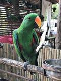 Ένα χαριτωμένο πουλί παπαγάλων τρώει το ρύζι τριζάτο Στοκ Εικόνες