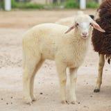 Ένα χαριτωμένο πρόβατο που κοιτάζει άμεσα στη κάμερα Στοκ Εικόνες
