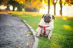 Ένα χαριτωμένο σκυλί μαλαγμένου πηλού κάθεται στην πράσινη χλόη ενάντια στο σκηνικό ενός πάρκου πόλεων φθινοπώρου στοκ εικόνες