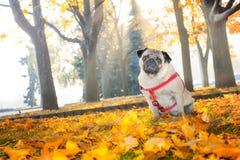 Ένα χαριτωμένο σκυλί μαλαγμένου πηλού κάθεται στο κίτρινο φύλλωμα ενάντια στο σκηνικό ενός πάρκου πόλεων φθινοπώρου στοκ εικόνα