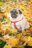 Ένα χαριτωμένο σκυλί μαλαγμένου πηλού κάθεται στο κίτρινο φύλλωμα ενάντια στο σκηνικό ενός πάρκου πόλεων φθινοπώρου στοκ φωτογραφίες με δικαίωμα ελεύθερης χρήσης