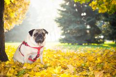 Ένα χαριτωμένο σκυλί μαλαγμένου πηλού κάθεται στο κίτρινο φύλλωμα ενάντια στο σκηνικό ενός πάρκου πόλεων φθινοπώρου στοκ φωτογραφία