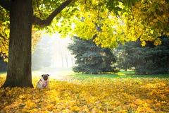 Ένα χαριτωμένο σκυλί μαλαγμένου πηλού κάθεται στο κίτρινο φύλλωμα ενάντια στο σκηνικό ενός πάρκου πόλεων φθινοπώρου στοκ φωτογραφία με δικαίωμα ελεύθερης χρήσης
