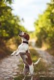 Ένα χαριτωμένο σκυλί λαγωνικών ικετεύει Στοκ εικόνα με δικαίωμα ελεύθερης χρήσης