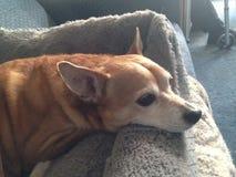 Ένα χαριτωμένο σκυλί κουταβιών Στοκ φωτογραφία με δικαίωμα ελεύθερης χρήσης