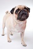 Ένα χαριτωμένο σκυλί μαλαγμένου πηλού Στοκ φωτογραφία με δικαίωμα ελεύθερης χρήσης